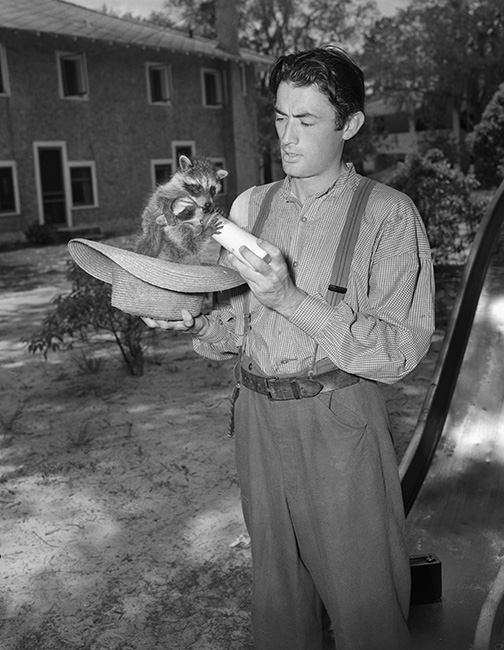 Behind the scenes shot of Gregory Peck bottle feeding raccoons on the set of The Yearling
